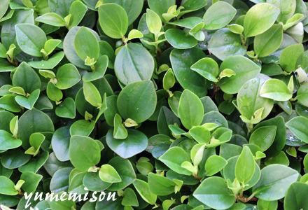 観葉植物ペペロミア