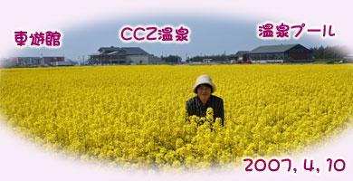 CCZの菜の花