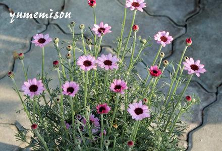 ローダンセマムの鉢植え
