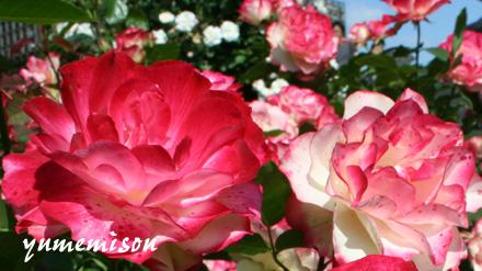 花フェスタのバラ