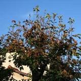 無惨な柿の木