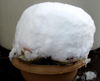 雪が積もった葉ボタン