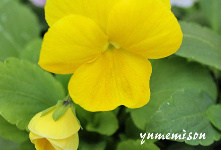 黄色のビオラ