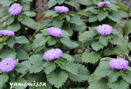 紫ルーシャンの花苗