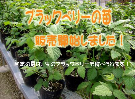ブラックベリーの苗、販売しています!