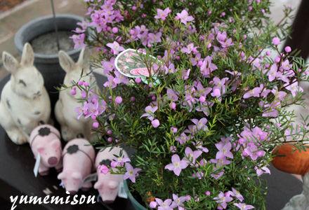 ボロニアの鉢植え