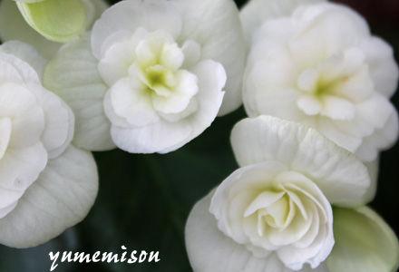 白いリーガスベコニア
