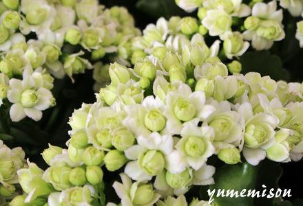 白い八重咲きカランコエ