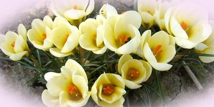 白いクロッカスの花