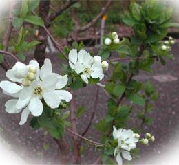バイカシモツケの花