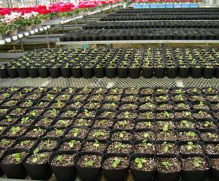 来春のゼラニウムを植えました。
