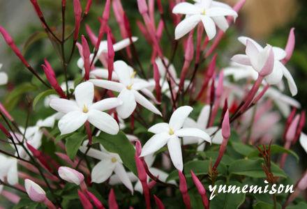 羽衣ジャスミンの花