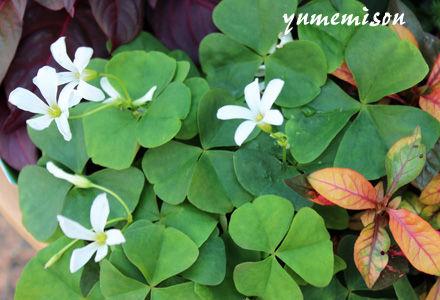 オキザリス 白花