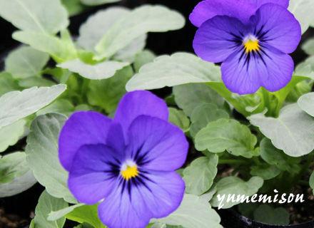 よく咲くスミレ ブルー