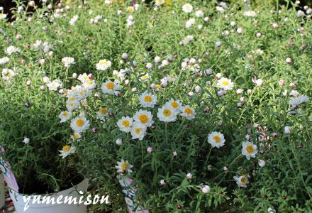 花かんざしの鉢植え