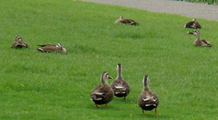 鴨も、芝生の上で休んでいました。