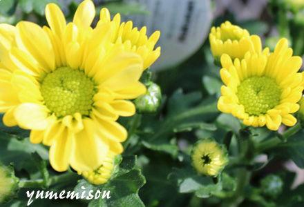 小菊の花苗