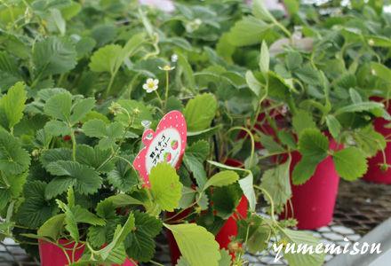 ワイルドストロベリーの鉢植え