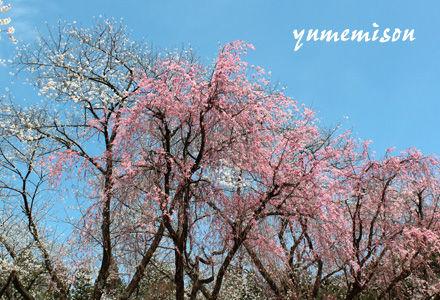樹木公園の桜
