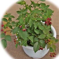 ブラックベリーの尺鉢