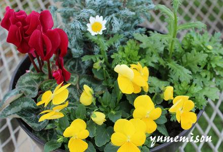 ガーデンシクラメンとビオラの小さい寄せ植え