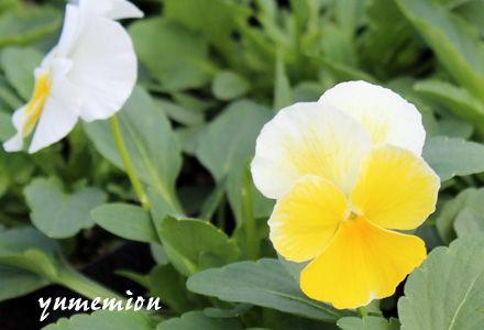 ビオラ 白に黄色