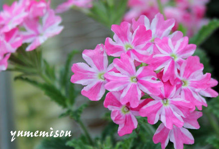 四季咲バーベナの花苗