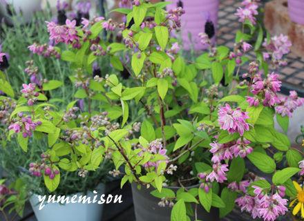 姫ウツギの鉢植え