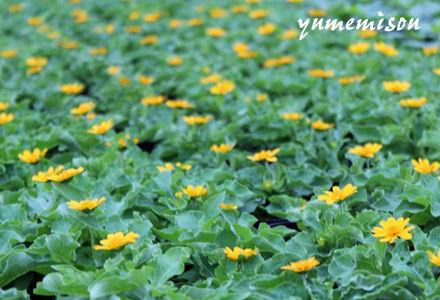 メランポジウムの花苗