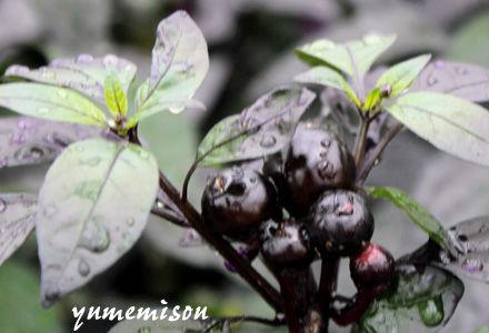 黒い実のトウガラシ