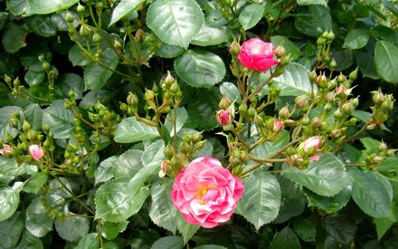 ハーブガーデンのバラが咲き始めました。