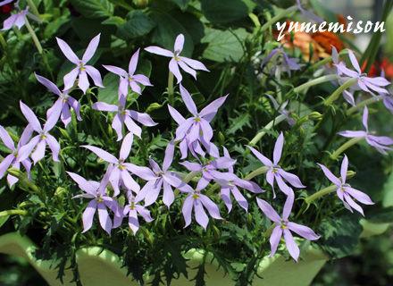 イソトマの花