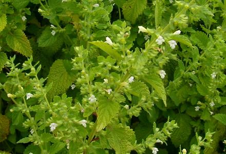 レモンバームの花