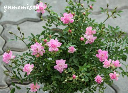 鉢植えのミニバラ