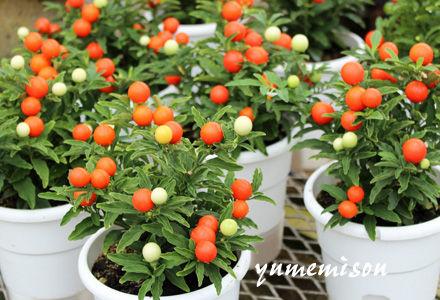 ソラナムの鉢植え
