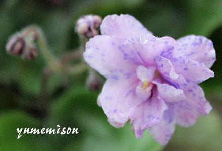 八重咲セントポーリア