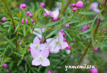鉢花 ボロニア