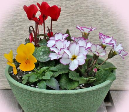 ガーデンシクラメンとポリアンの寄せ植え