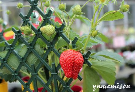 苺の鉢植え