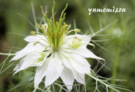 ニゲラ白花