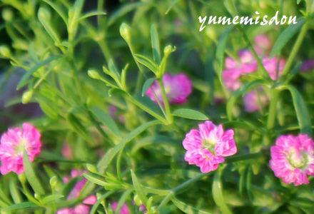 カスミ草ジプシー