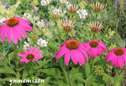 花壇のエキナセア