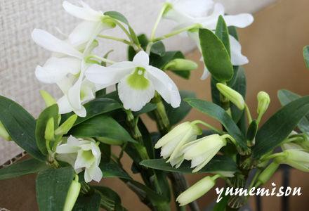 小花のデンドロビウム