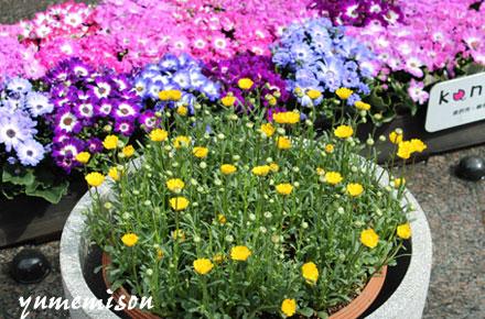 ムルチコーレの鉢植え