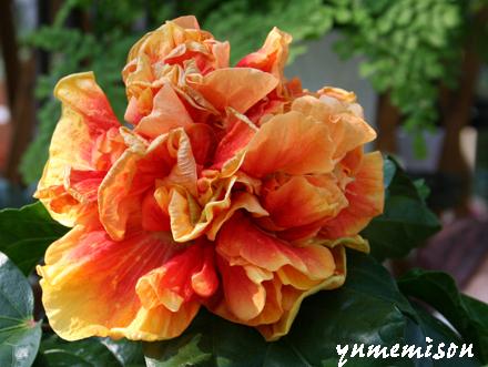 ドレスのような八重咲きのハイビスカス
