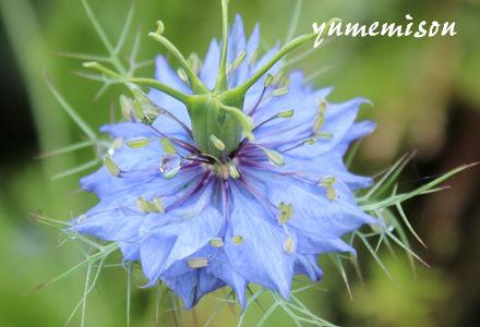 ニゲラ 青