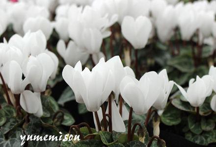 ガーデンシクラメン ピュアホワイト