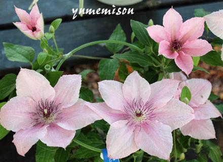 クレマチス ピンクファンタジーの鉢植え