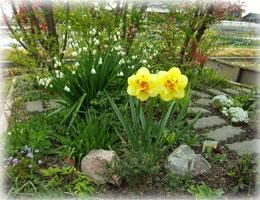 花壇の水仙とスノードロップ