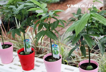 緑の桃太郎の小さな鉢植え